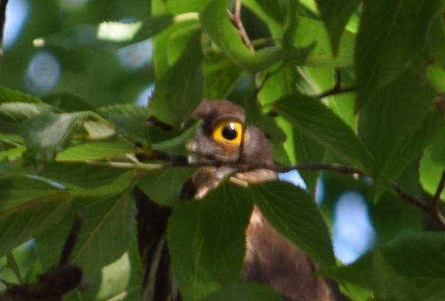 Owls Eye