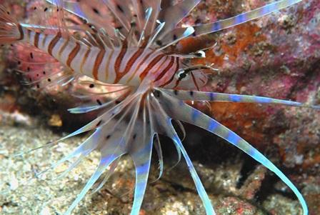 ミノカサ幼魚web