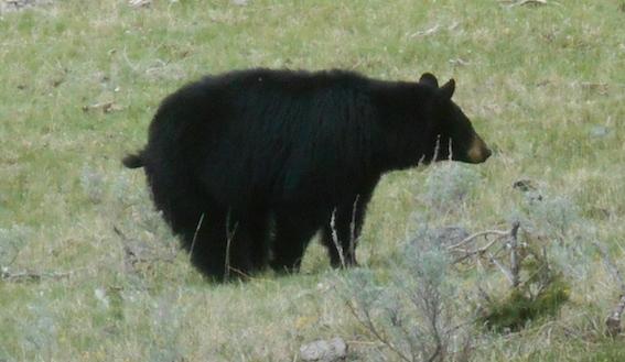 Black bear-b