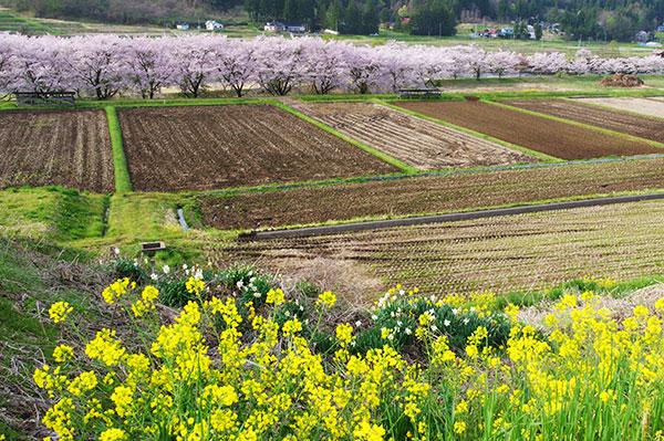 東和町成島の菜の花と桜