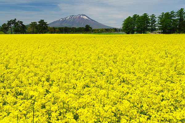菜の花と岩手山(東北農研)