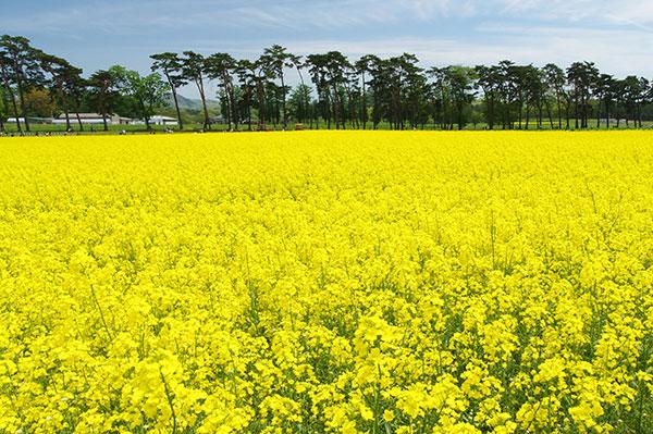 菜の花とアカマツ林(東北農研)