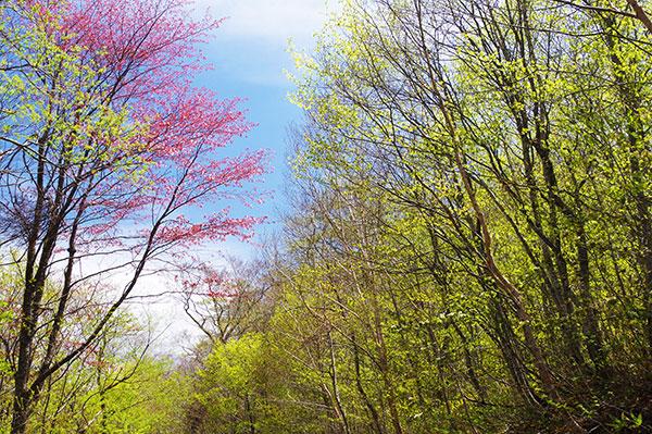 早池峰林道の山桜