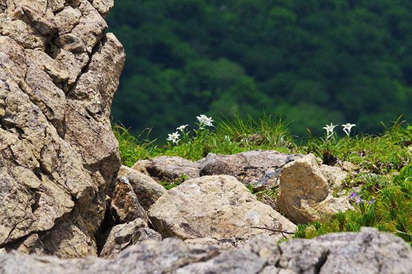 早池峰のハヤチネウスユキソウ