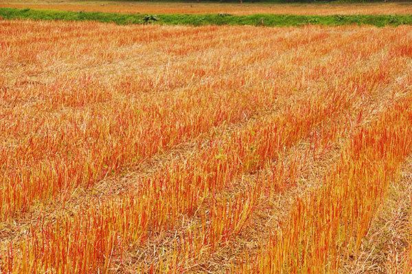 盛岡市南郊のそば畑