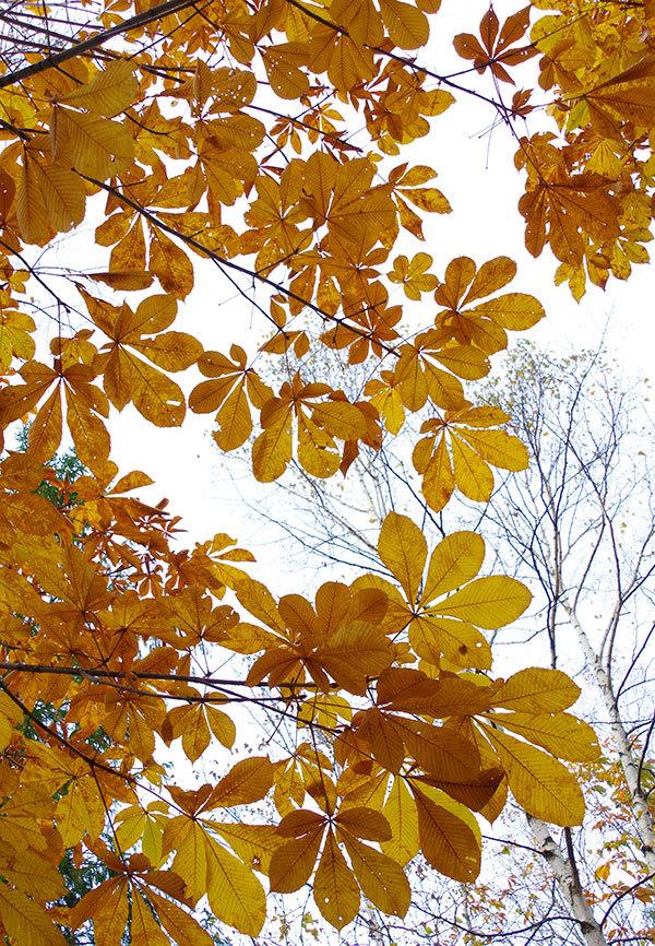 安比高原のトチの黄葉
