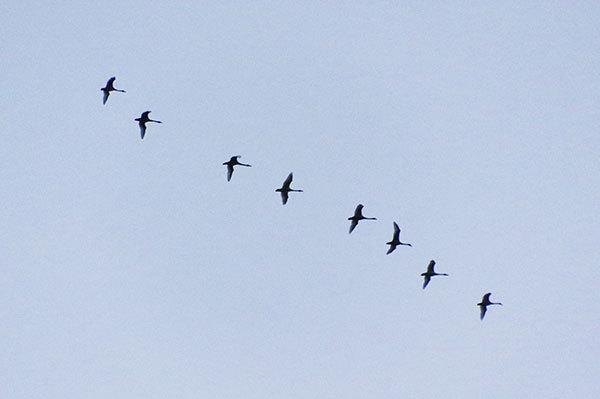 安比高原を飛来するハクチョウ
