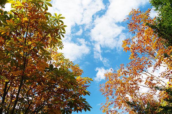 横浜市旭区のトチの黄葉