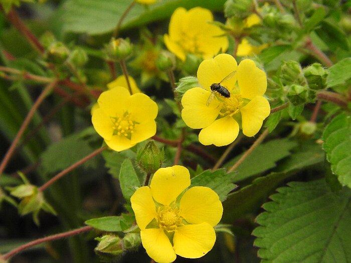 ミツバチグリs