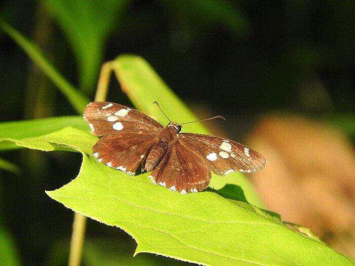 ダイミョウセエセリs