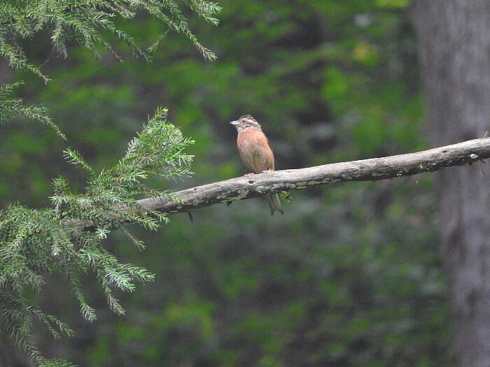 ホオジロ幼鳥 (1)s