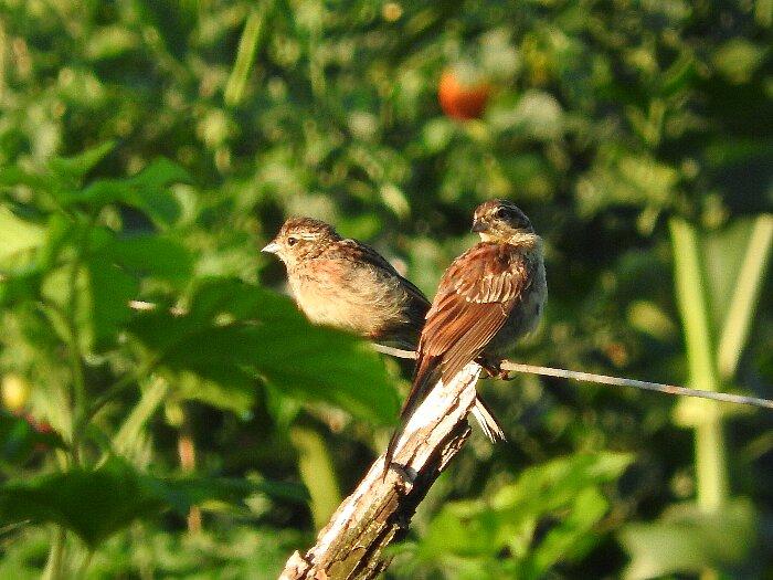 ホオジロ幼鳥s