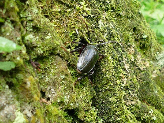 カブトムシ雌s