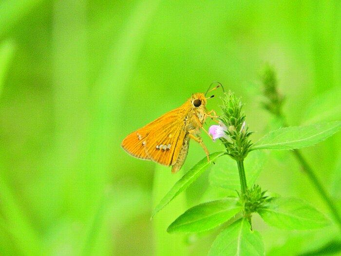 キマダラセセリs
