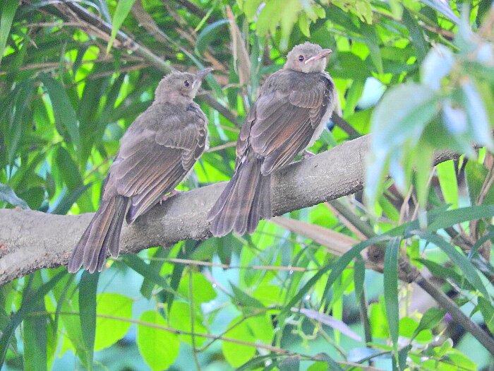 ヒヨドリ幼鳥s