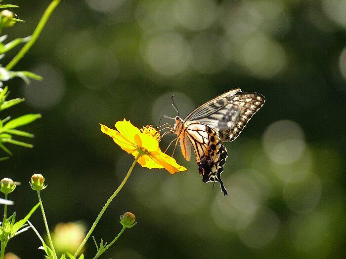 アゲハチョウs