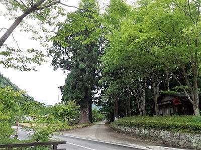 妙見神社入口、大杉