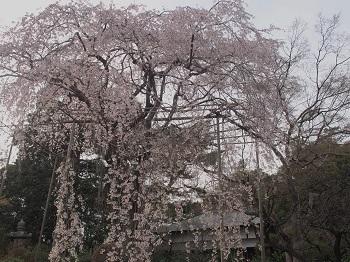 清水公園20160403-5