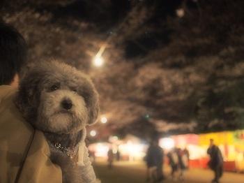 夜桜20160403-2