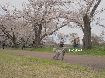 お花見20160409-9