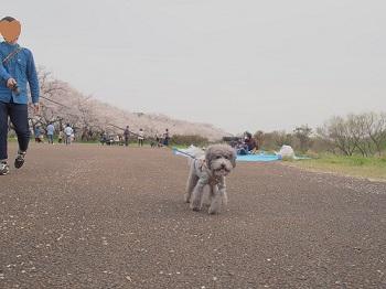 お花見20160409-14