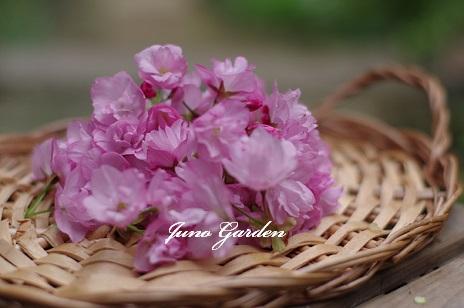 桜160413