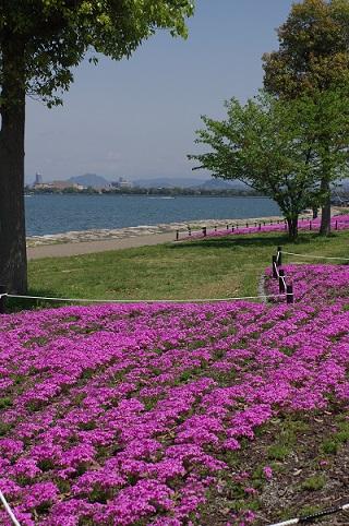 芝桜160420