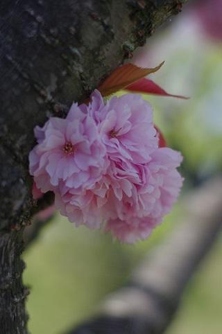 1八重桜160420