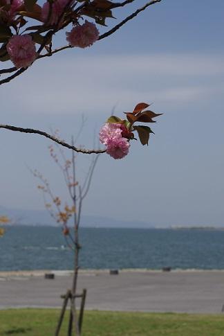 2八重桜160420
