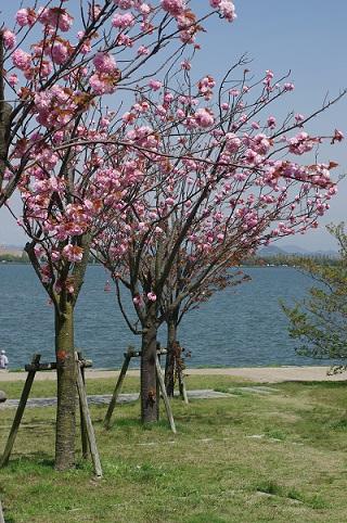 八重桜160420