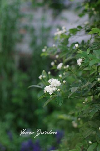 1白モッコウバラ160501