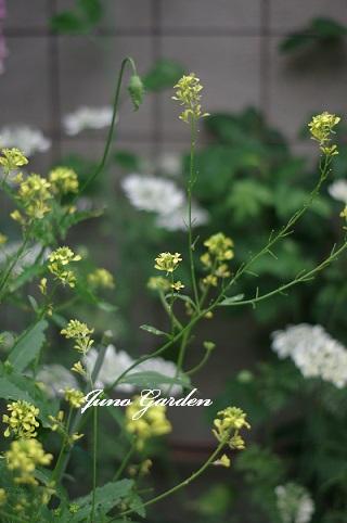 黄色の花160527