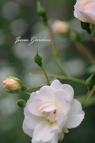 白のバラ160606