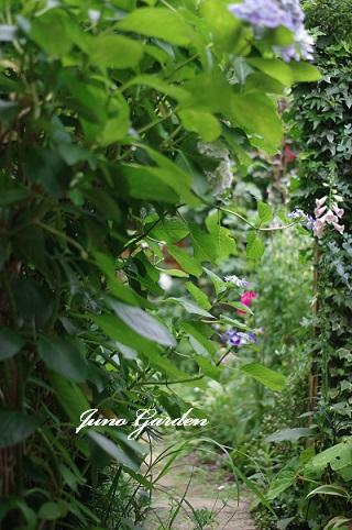 にわの紫陽花160612