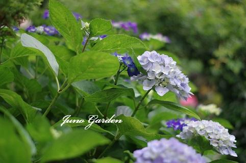 庭1紫陽花160612