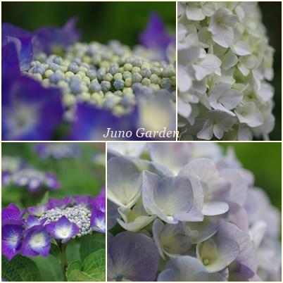 紫陽花160612