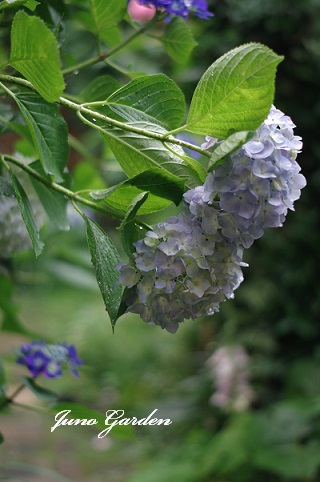 雨紫陽花160613