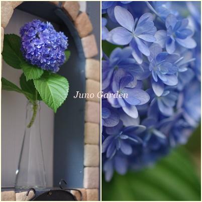 6018ブルーの紫陽花