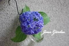 紫陽花160619