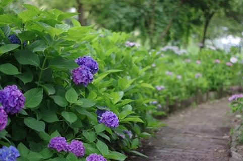 紫陽花160630