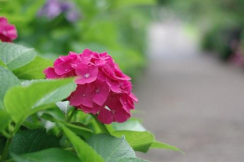 1紫陽花マシア630