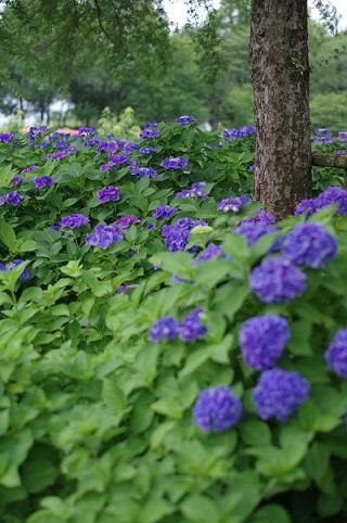 3紫陽花630