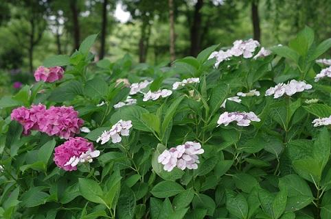 5紫陽花630