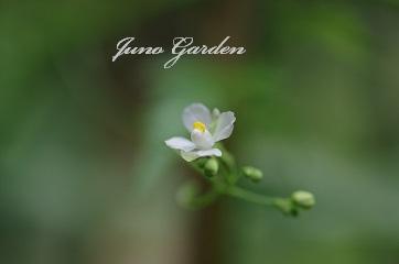 フウセンカズラの花160704