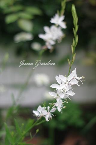 ガウラ160714