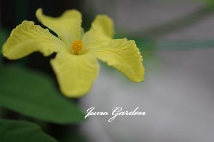 ゴーヤの花160726