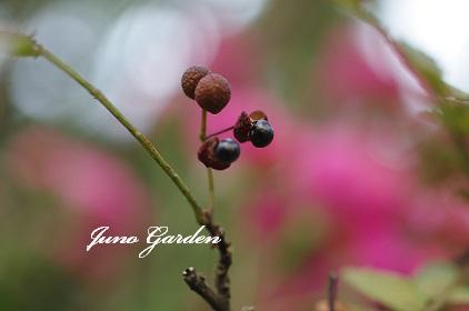 山椒の種160909