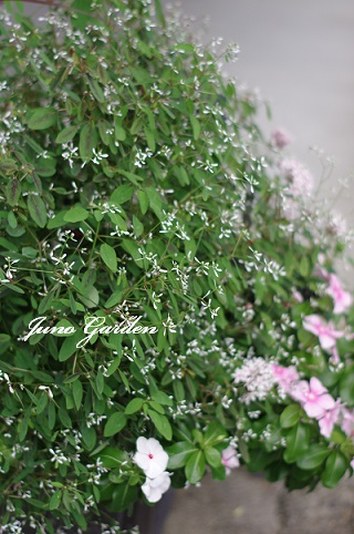 玄関の花161013