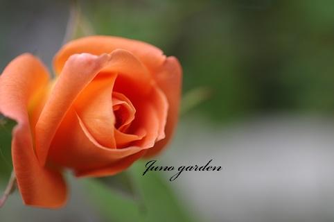 オレンジのバラ161014