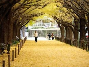 外苑銀杏並木2